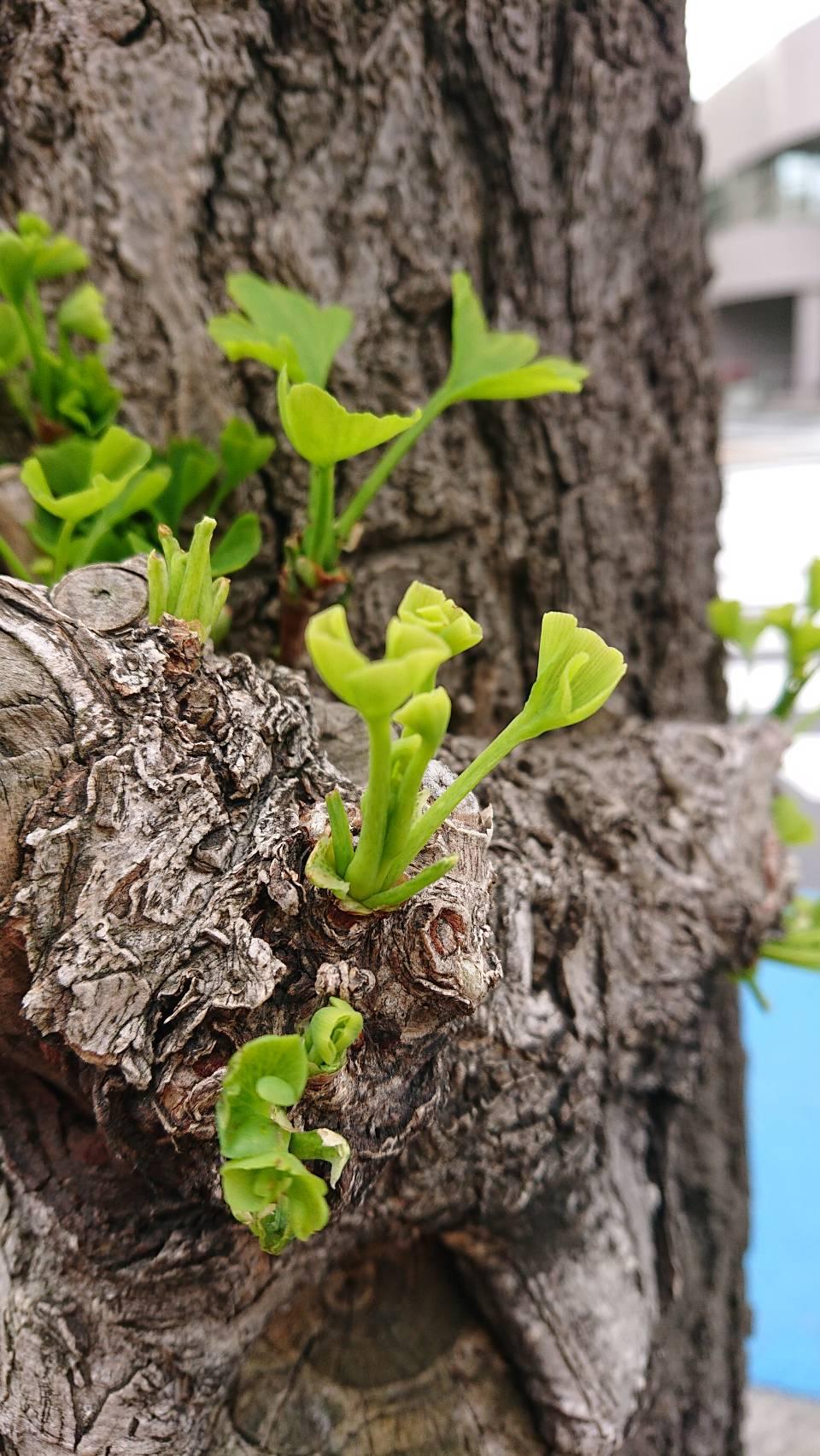 イチョウの新芽
