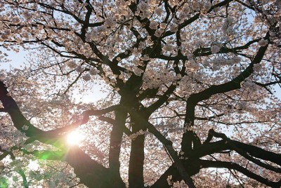 表参道の桜