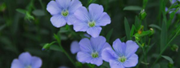 リネンの花001