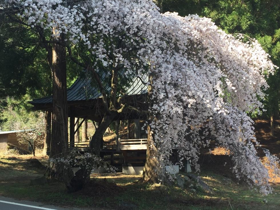 機神社の桜